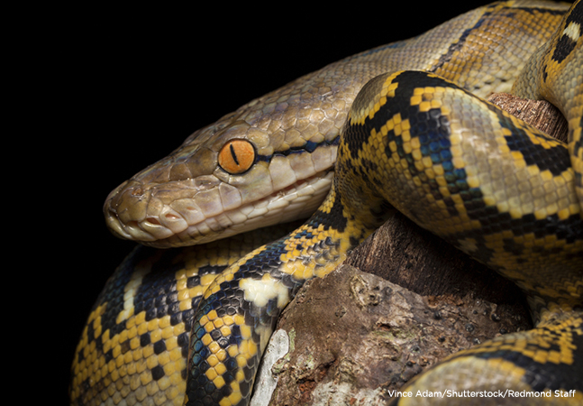 Deadly! Woman Wakes Up To Find Python In Her Bed....see what happen next
